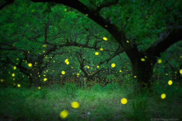 相生山の梅林で光るヒメボタル