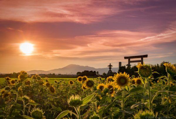 【夏はひまわり、秋はコスモス】名古屋から近い、いちのえだ田園(岐阜羽島)の一面の花畑に感動してきたよ。