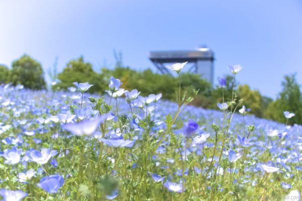 名古屋から近場のネモフィラのおススメ撮影スポット3か所を紹介