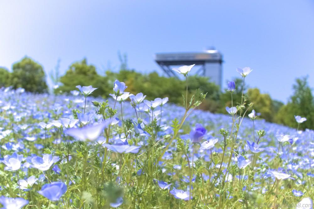 岐阜県可児市の花フェスタ記念公園でみたネモフィラ