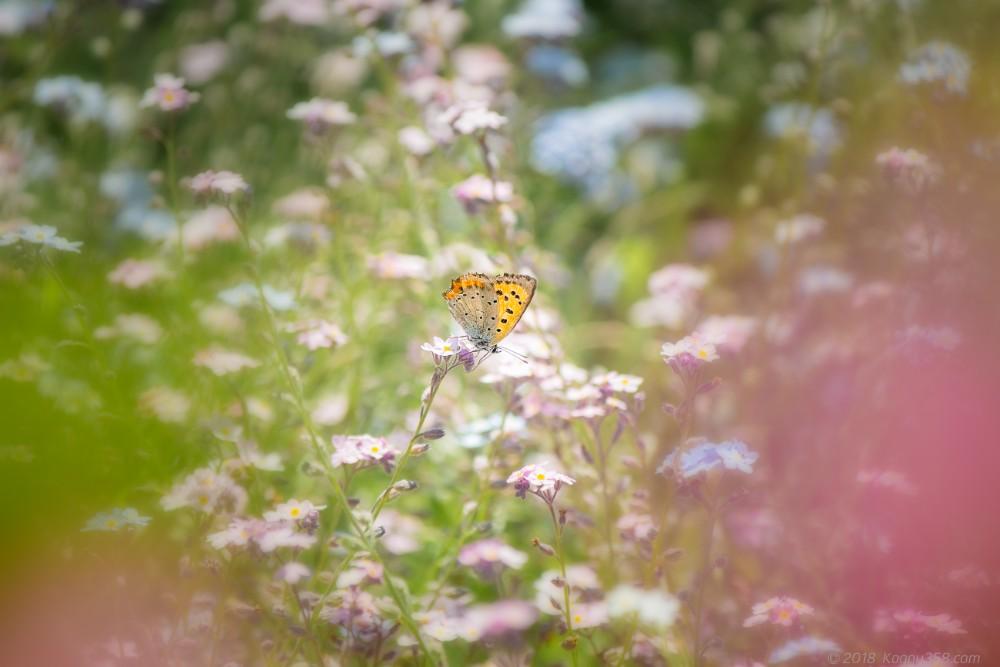 勿忘草(ワスレナグサ)とベニシジミ蝶