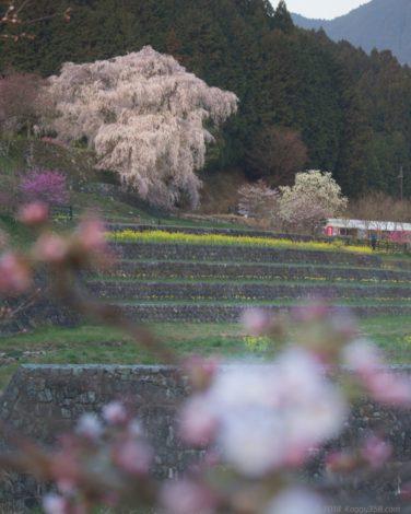 又兵衛桜を桜越しに見ると