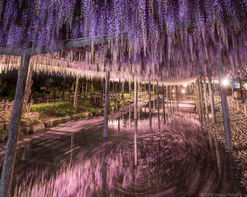 天王川公園の藤の花筏のグルグル