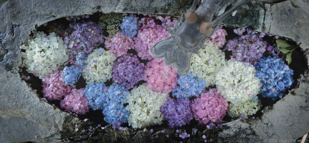 岐阜市の若江神社のあじさいの手水舎がゆっくり撮影出来ておススメ
