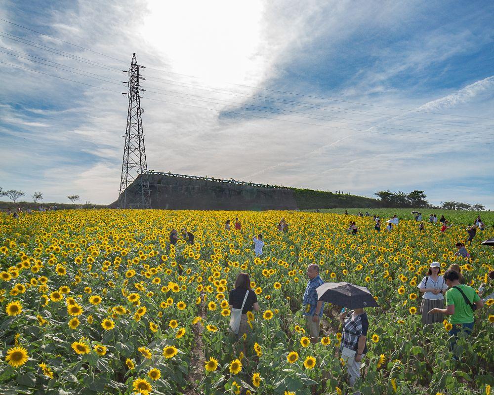 観光農園花ひろばのひまわり【混雑やアクセス、見ごろ情報あり】