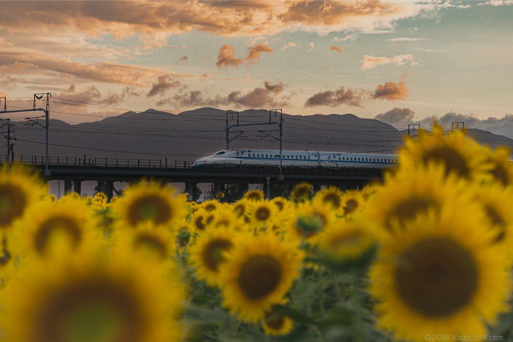 大垣ひまわり畑でマジックアワーと新幹線を撮影してきた!