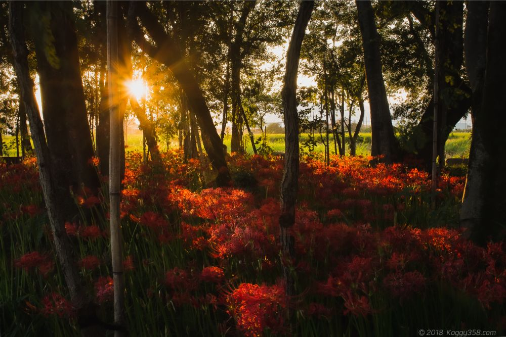 彼岸花を岐阜県本巣市のやすらぎの林で撮影【木漏れ日と夕方が絶景】