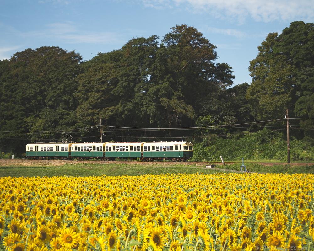 いなべ市で三岐鉄道とひまわりやコスモス、そばの花の畑を撮影!