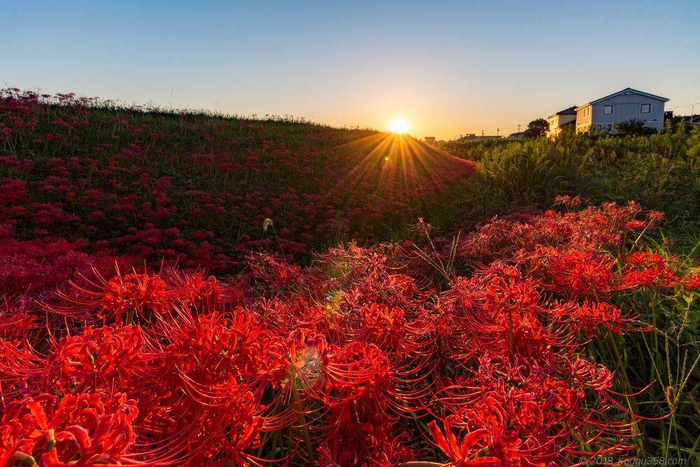 矢勝川(愛知県半田市)の彼岸花と花嫁行列を撮影【東海最大スポット】