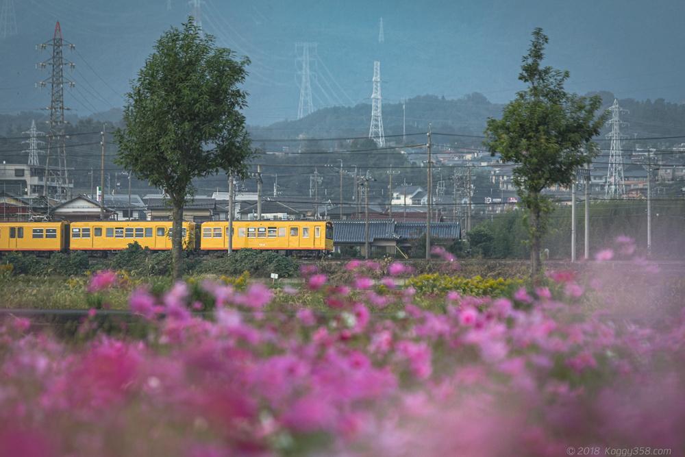 三重県東員町のコスモスと黄色い三岐鉄道を撮影【10月下旬が見ごろ】