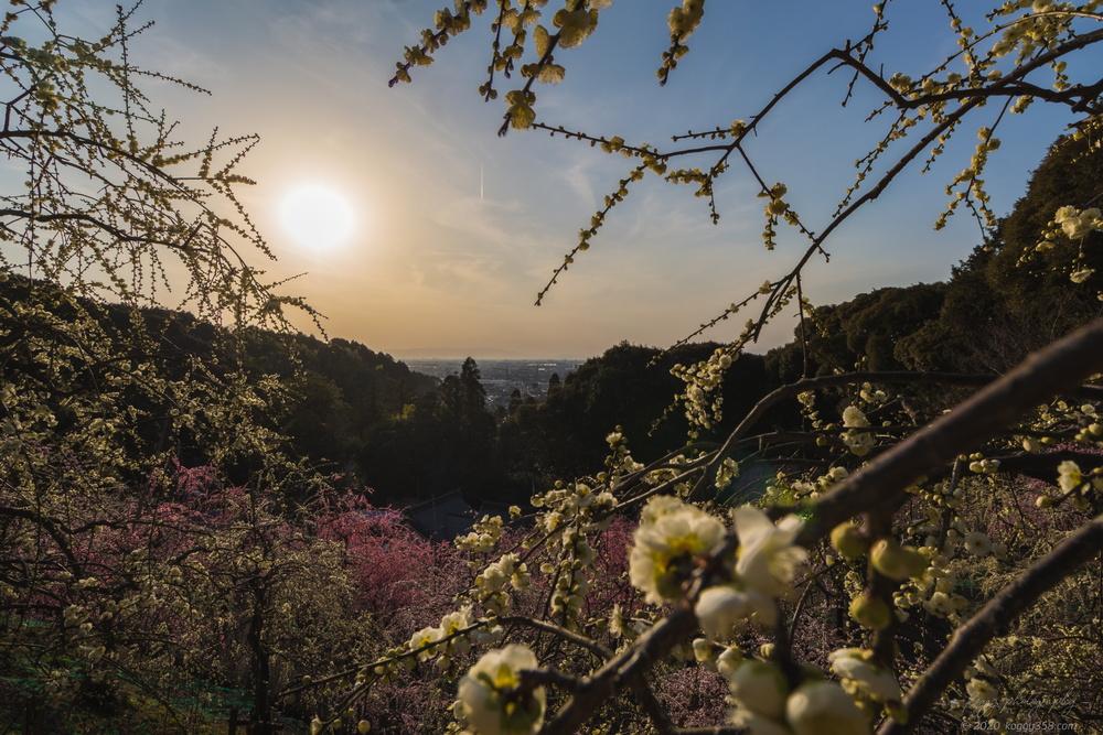 犬山の大縣神社で梅まつりと夕日を撮影【営業時間の17時以降も入れる※公式情報】
