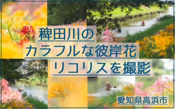 稗田川(愛知県高浜市)のカラフルな彼岸花リコリスを撮影してきた!
