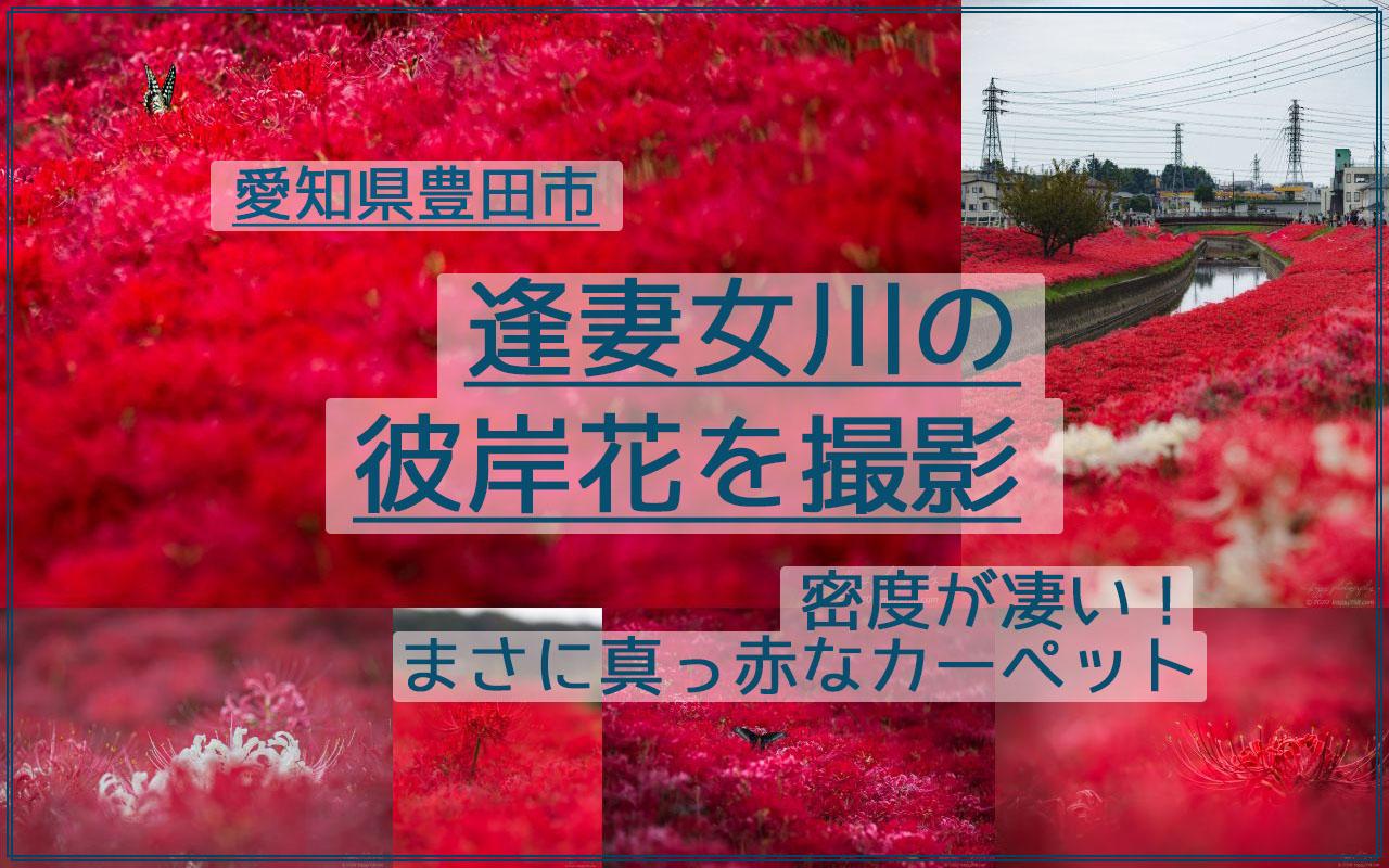 豊田市、逢妻女川の彼岸花群生地を撮影【密度が凄い!真っ赤なカーペット】
