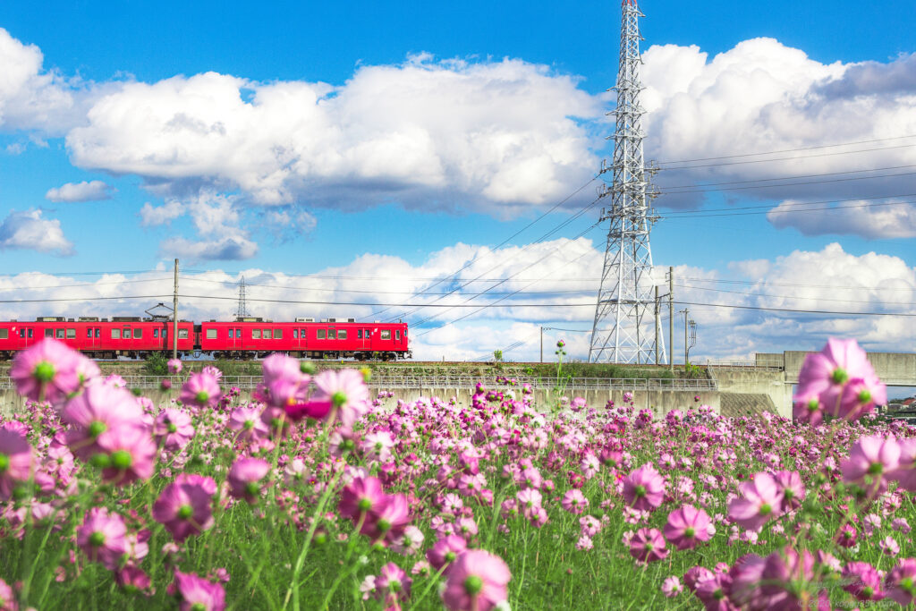晴天の刈谷市中川町のコスモス畑で名鉄電車を望遠レンズで撮影