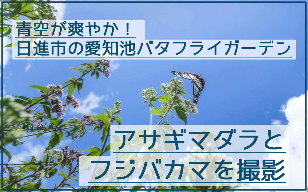 アサギマダラを愛知池バタフライガーデンで青空とフジバカマと一緒に撮影